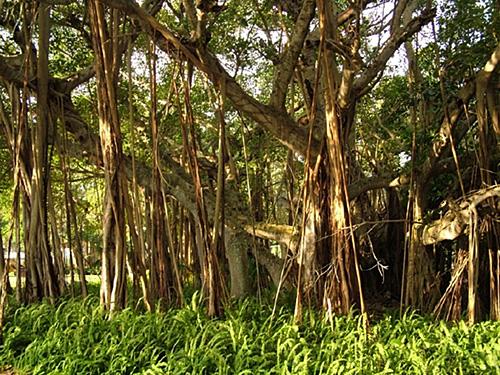 iy6221 sarasota fl florida the john and mable ringling museum banyan tree